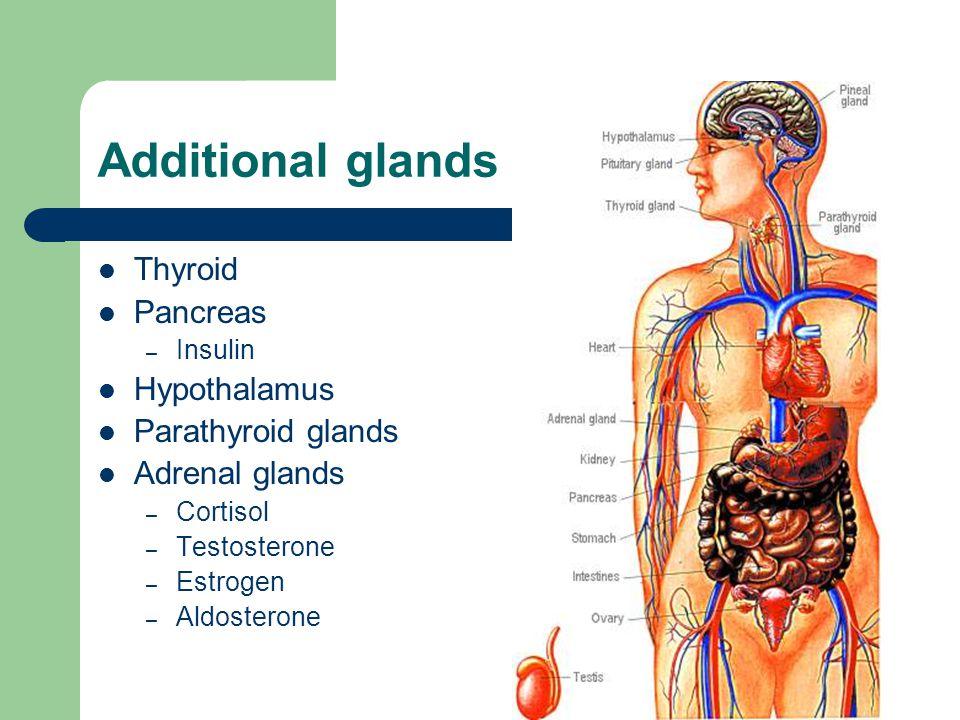 Additional glands Thyroid Pancreas – Insulin Hypothalamus Parathyroid glands Adrenal glands – Cortisol – Testosterone – Estrogen – Aldosterone