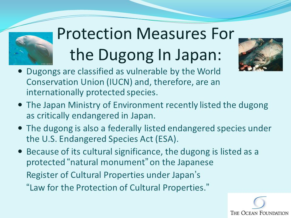 Protection Measures For the Dugong In Japan: Dugongs are classified as vulnerable by the World Conservation Union (IUCN) and, therefore, are an internationally protected species.