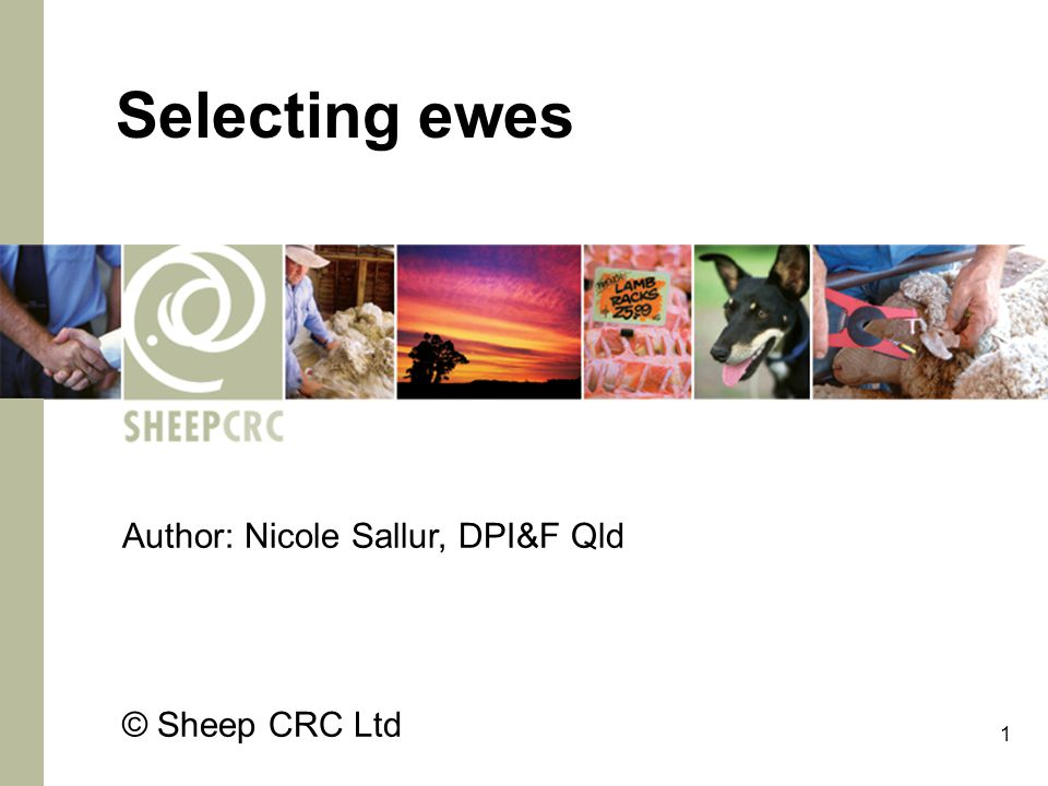 1 Selecting ewes Author: Nicole Sallur, DPI&F Qld © Sheep CRC Ltd