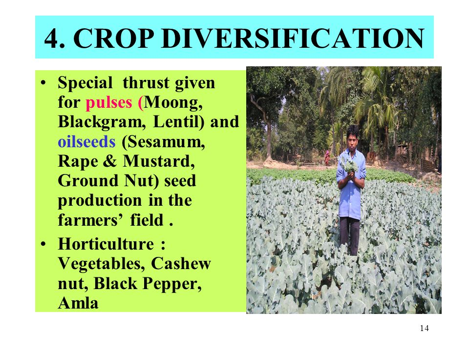 14 4. CROP DIVERSIFICATION Special thrust given for pulses (Moong, Blackgram, Lentil) and oilseeds (Sesamum, Rape & Mustard, Ground Nut) seed producti