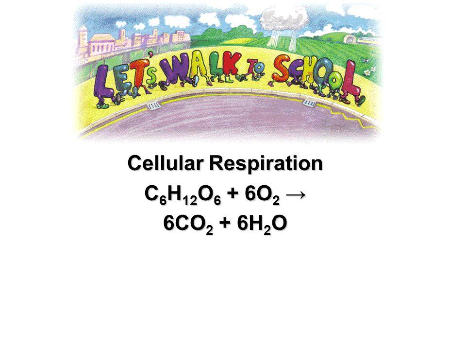 Cellular Respiration C 6 H 12 O 6 C 6 H 12 O 6 + 6O 2 6O 2 6CO 2 6CO 2 + 6H 2 O