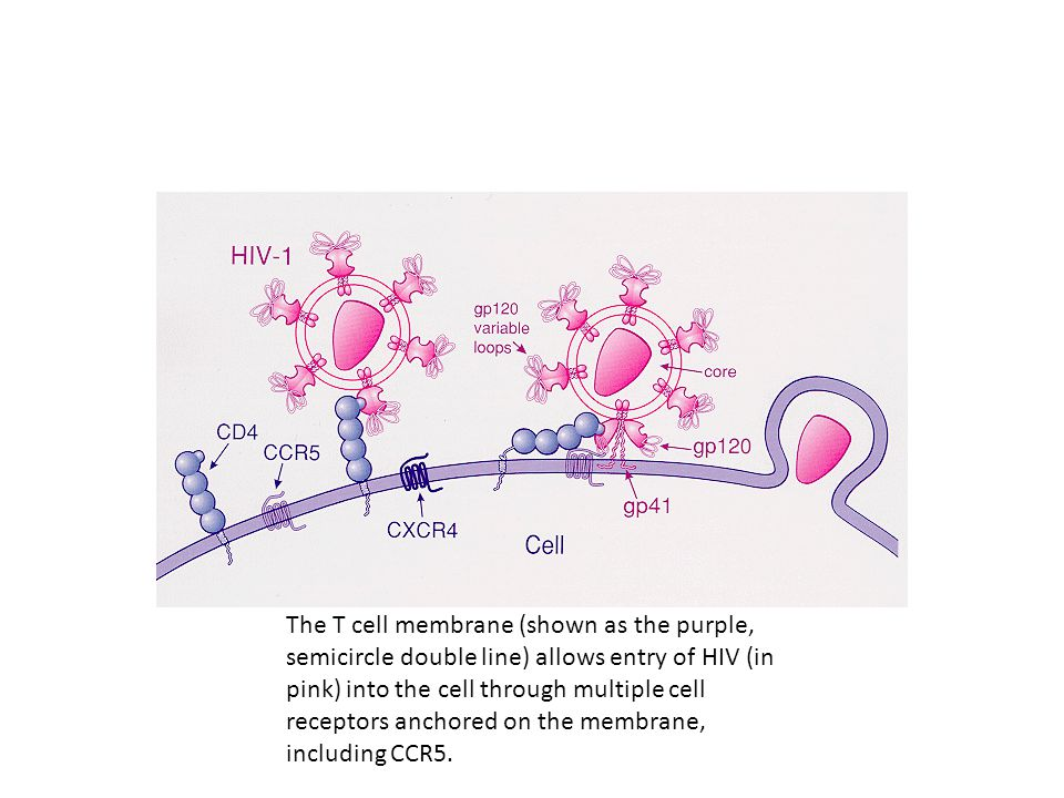 The T cell membrane (shown as the purple, semicircle double line) allows entry of HIV (in pink) into the cell through multiple cell receptors anchored on the membrane, including CCR5.