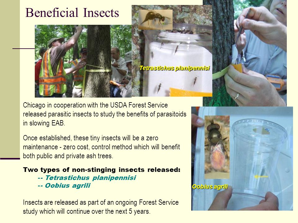13 Chicago in cooperation with the USDA Forest Service released parasitic insects to study the benefits of parasitoids in slowing EAB.