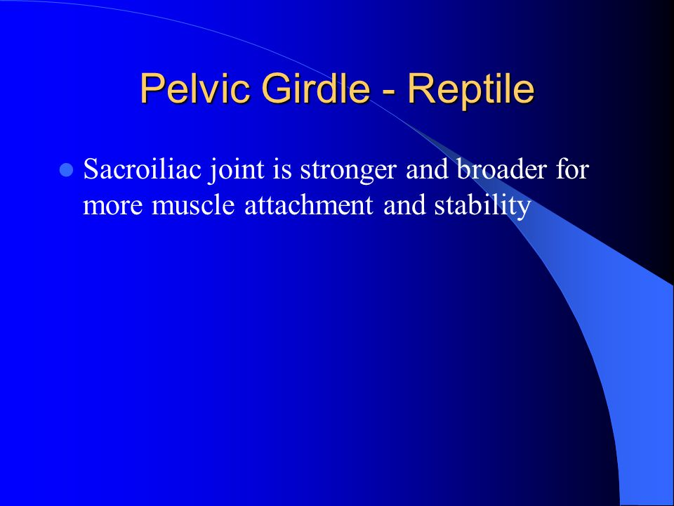 Pelvic Girdle - Reptile Sacroiliac joint is stronger and broader for more muscle attachment and stability