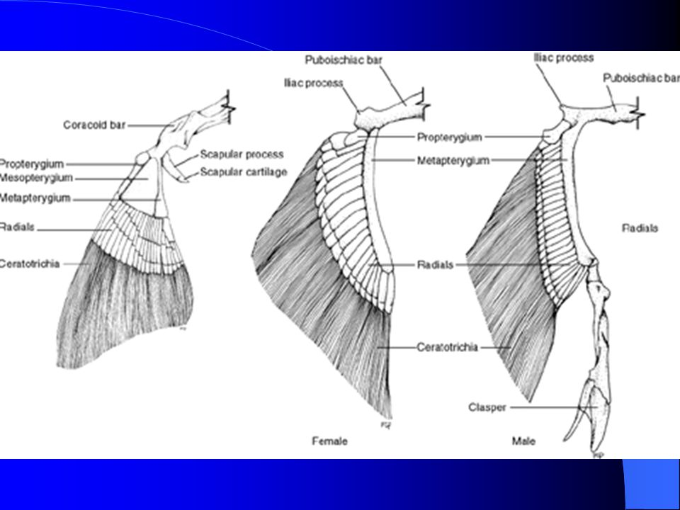 Pectoral Girdle - birds Furcula (2 clavicles plus interclavicle) Scapula – bladelike Coracoid (anterior or pro-) which articulates with sternum