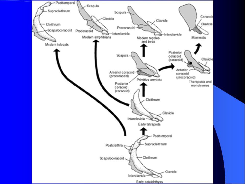 Pectoral Girdle Glenoid fossa on scapula for limb attachment