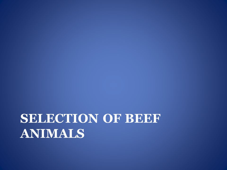 SELECTION OF BEEF ANIMALS