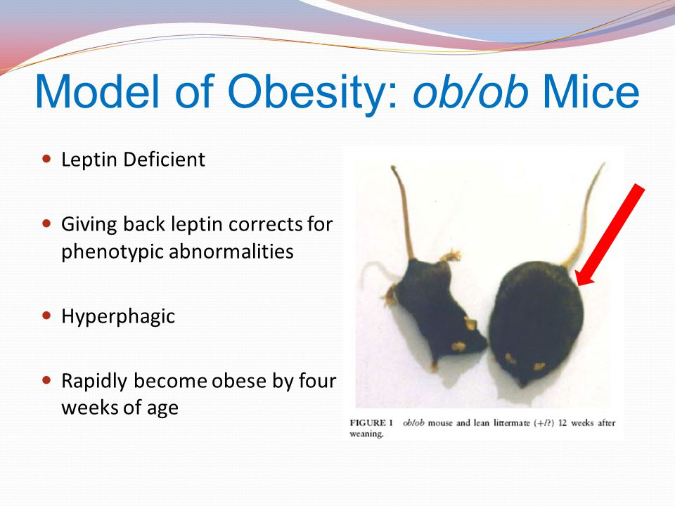 Model of Obesity: ob/ob Mice Leptin Deficient Giving back leptin corrects for phenotypic abnormalities Hyperphagic Rapidly become obese by four weeks