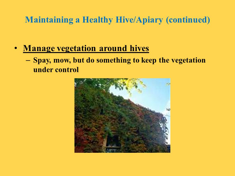 Maintaining a Healthy Hive/Apiary (continued) Manage vegetation around hives – Spay, mow, but do something to keep the vegetation under control
