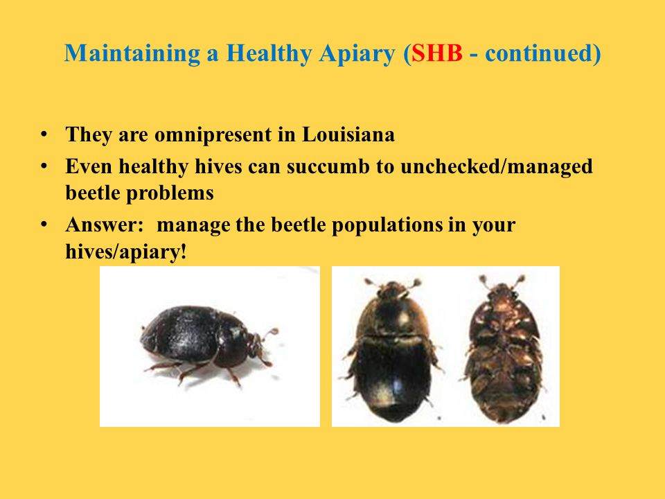 Maintaining a Healthy Apiary (SHB - continued) They are omnipresent in Louisiana Even healthy hives can succumb to unchecked/managed beetle problems A