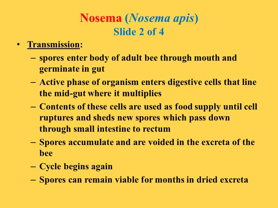 Nosema (Nosema apis) Slide 2 of 4 Transmission: – spores enter body of adult bee through mouth and germinate in gut – Active phase of organism enters