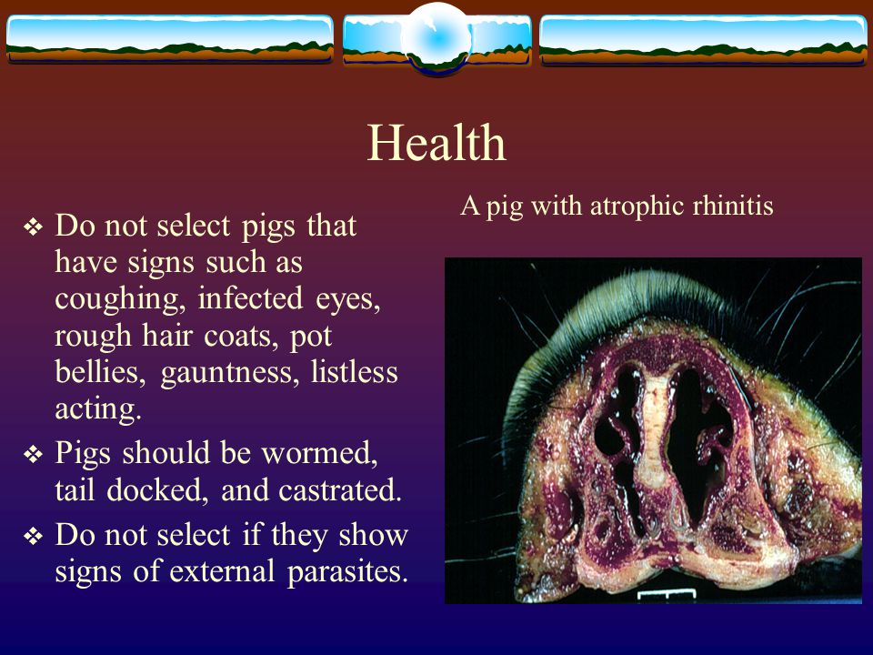 Selecting Feeder Pigs Factors to Consider When Buying Feeder Pigs are: Health Type Size Uniformity