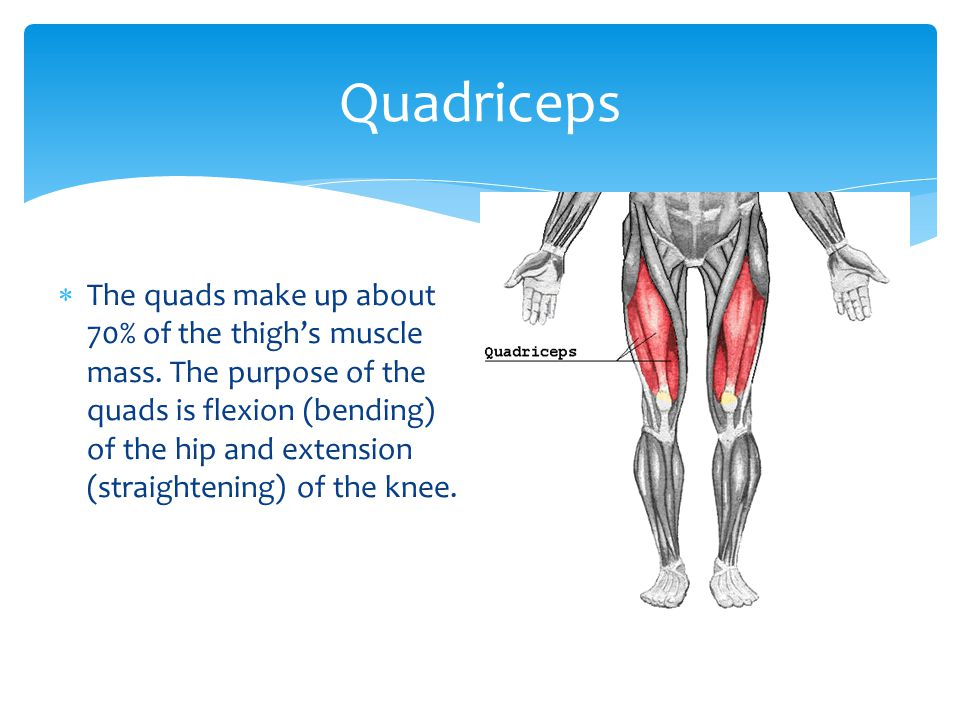 The quads make up about 70% of the thighs muscle mass. The purpose of the quads is flexion (bending) of the hip and extension (straightening) of the k