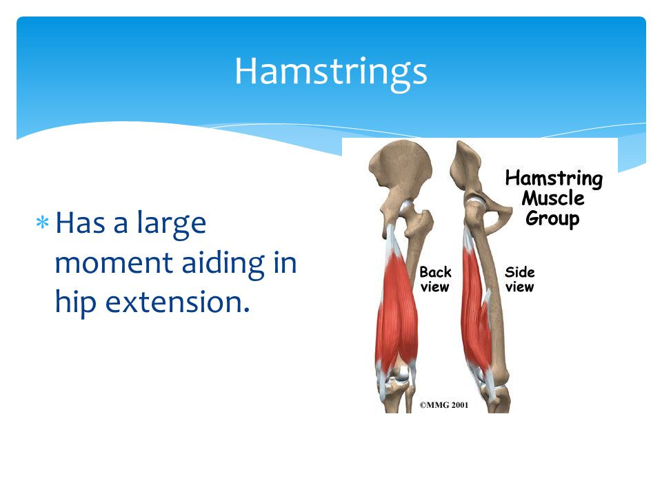 Has a large moment aiding in hip extension. Hamstrings