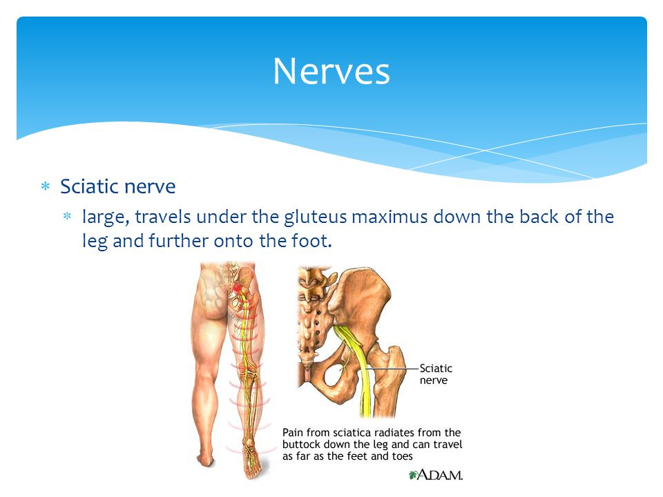 Nerves Sciatic nerve large, travels under the gluteus maximus down the back of the leg and further onto the foot.