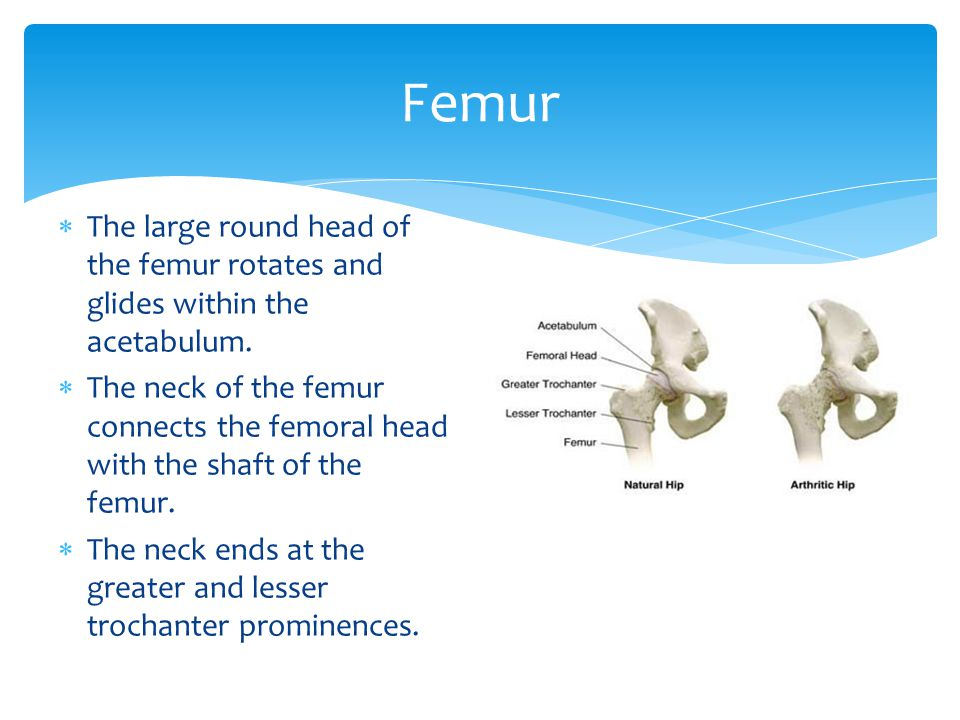 The large round head of the femur rotates and glides within the acetabulum. The neck of the femur connects the femoral head with the shaft of the femu