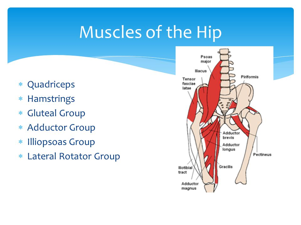 Quadriceps Hamstrings Gluteal Group Adductor Group Illiopsoas Group Lateral Rotator Group Muscles of the Hip