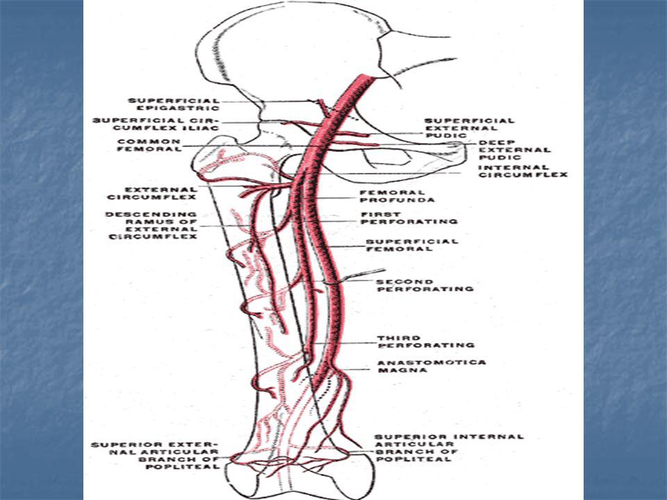 20: common femoral artery 20: common femoral artery 35: ischial spine 35: ischial spine 36: femoral head 36: femoral head 37: greater trochanter 37: greater trochanter