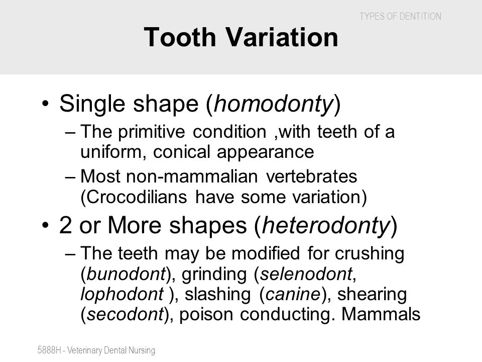 TYPES OF DENTITION 5888H - Veterinary Dental Nursing Tooth Variation Single shape (homodonty) –The primitive condition,with teeth of a uniform, conica