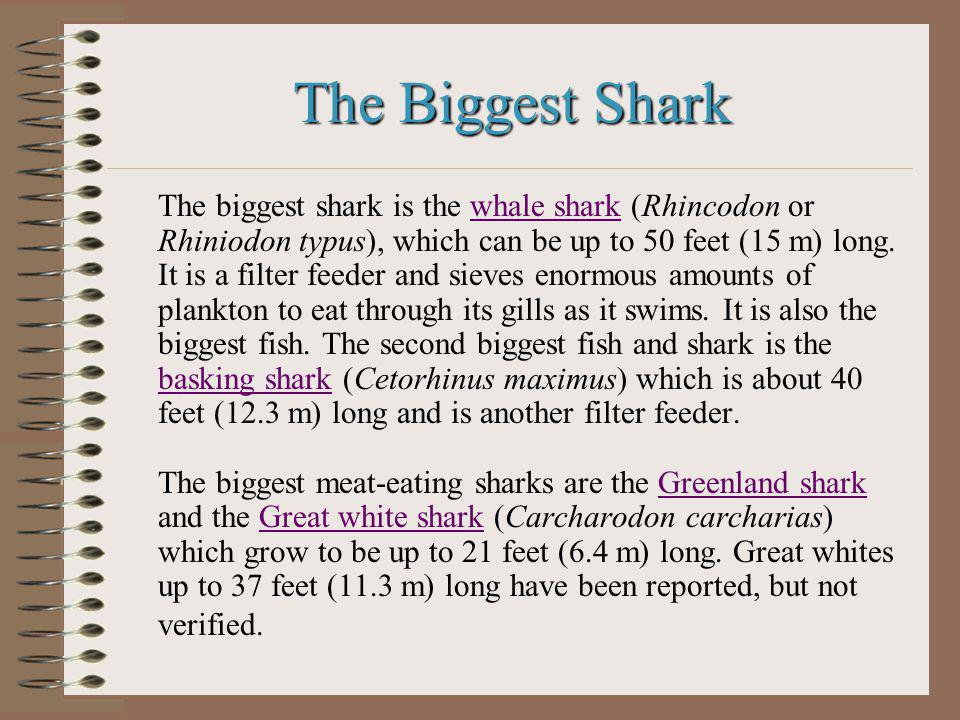 The Biggest Shark The biggest shark is the whale shark (Rhincodon or Rhiniodon typus), which can be up to 50 feet (15 m) long.