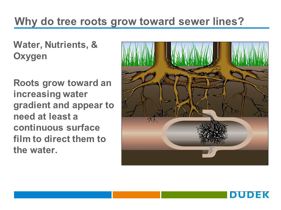 Why do tree roots grow toward sewer lines.