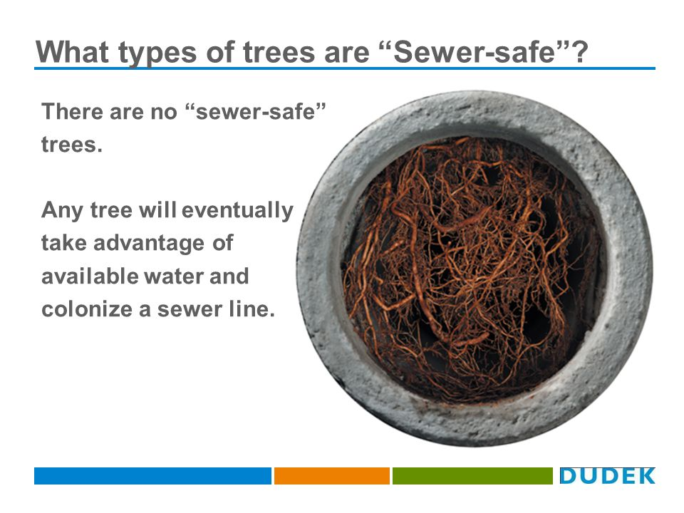What types of trees are Sewer-safe. There are no sewer-safe trees.