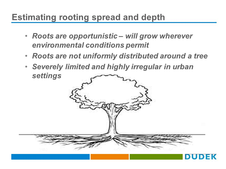 Estimating rooting spread and depth Roots are opportunistic – will grow wherever environmental conditions permit Roots are not uniformly distributed around a tree Severely limited and highly irregular in urban settings