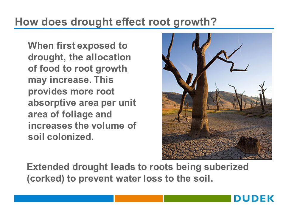 How does drought effect root growth.