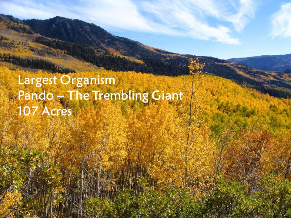 Largest Organism Pando – The Trembling Giant 107 Acres
