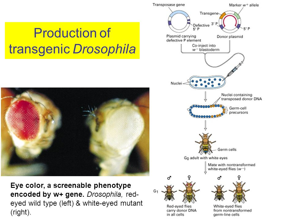 Production of transgenic Drosophila Eye color, a screenable phenotype encoded by w+ gene.