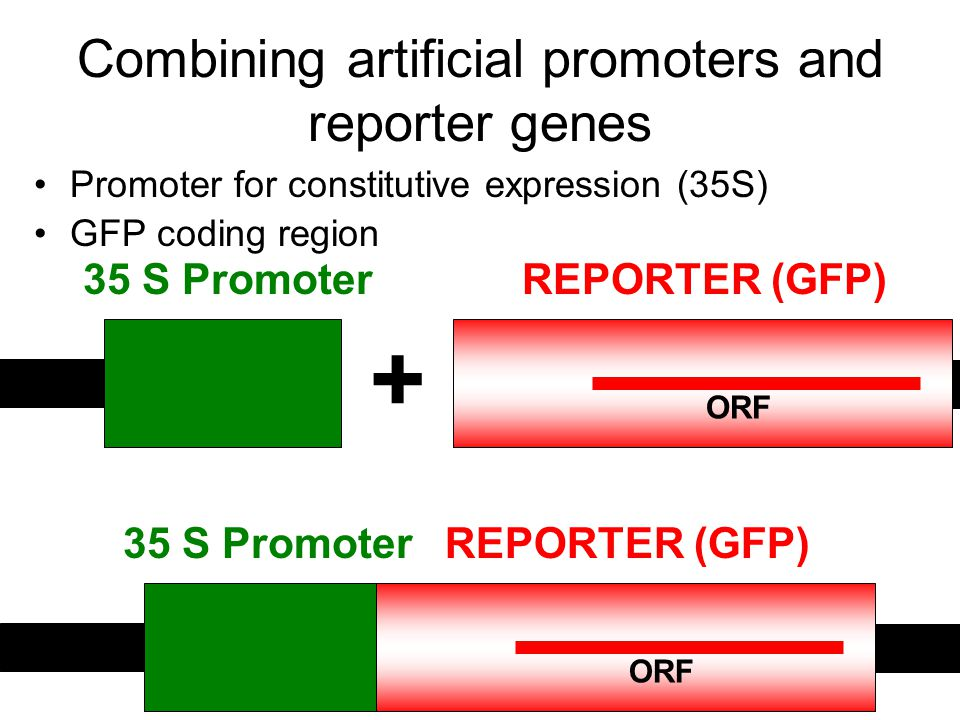 Combining artificial promoters and reporter genes Promoter for constitutive expression (35S) GFP coding region 35 S PromoterREPORTER (GFP) ORF 35 S PromoterREPORTER (GFP) ORF +