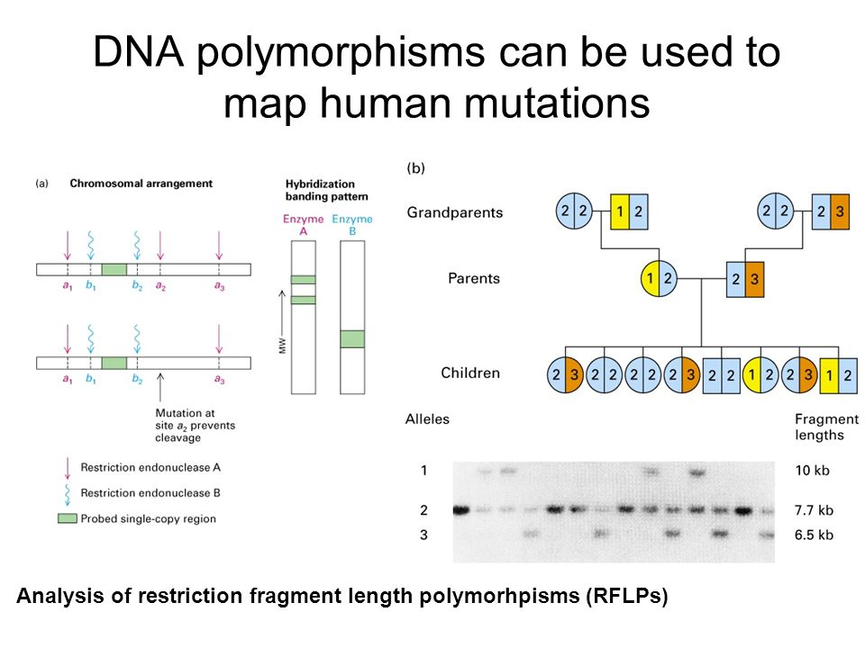 DNA polymorphisms can be used to map human mutations Analysis of restriction fragment length polymorhpisms (RFLPs)