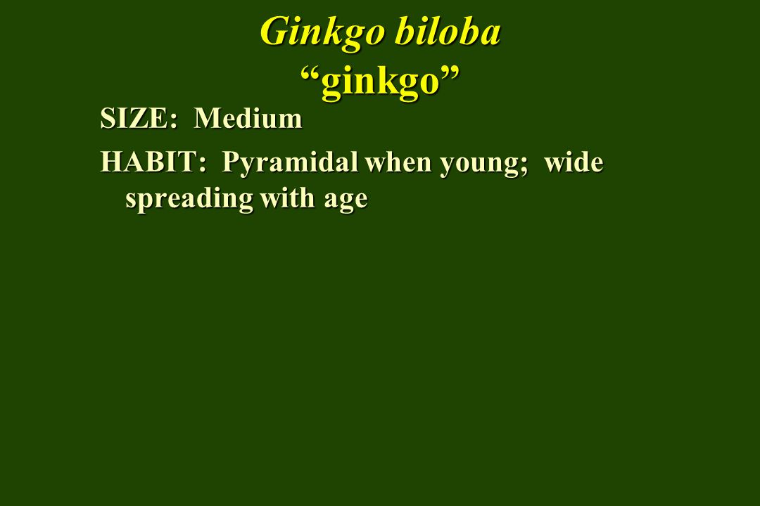 Ginkgo biloba ginkgo SIZE: Medium HABIT: Pyramidal when young; wide spreading with age