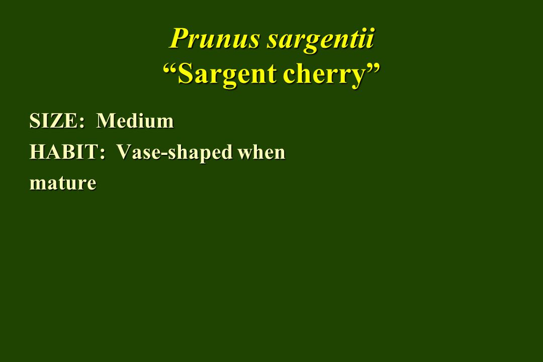 Prunus sargentii Sargent cherry SIZE: Medium HABIT: Vase-shaped when mature