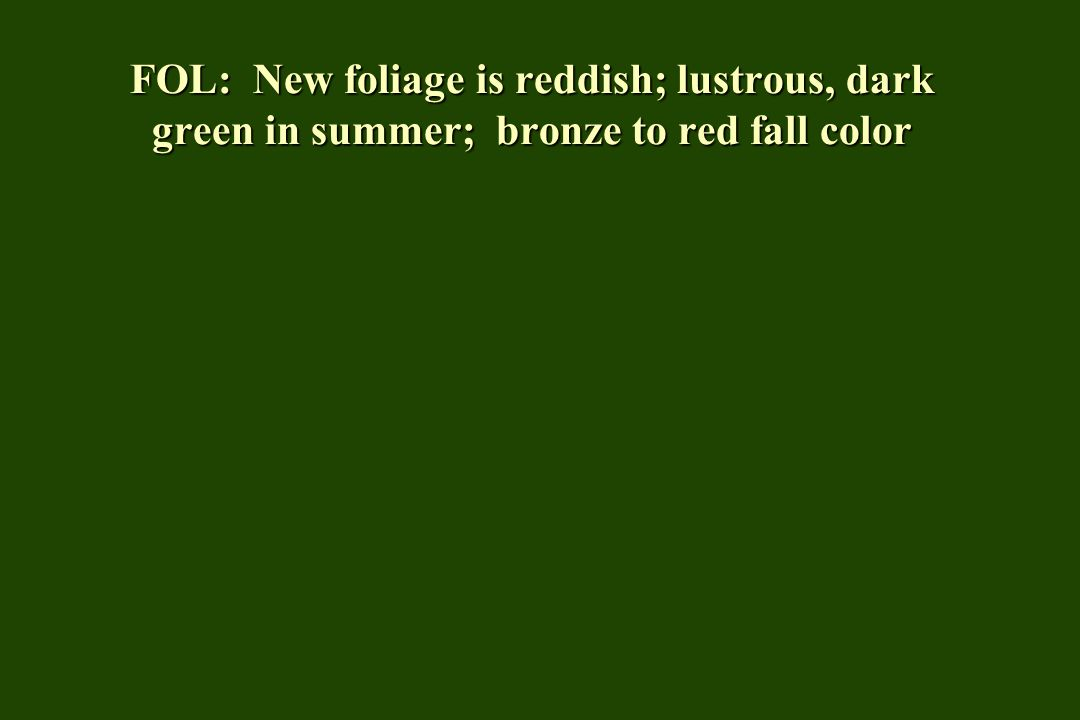FOL: New foliage is reddish; lustrous, dark green in summer; bronze to red fall color