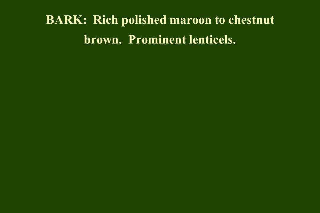 BARK: Rich polished maroon to chestnut brown. Prominent lenticels.
