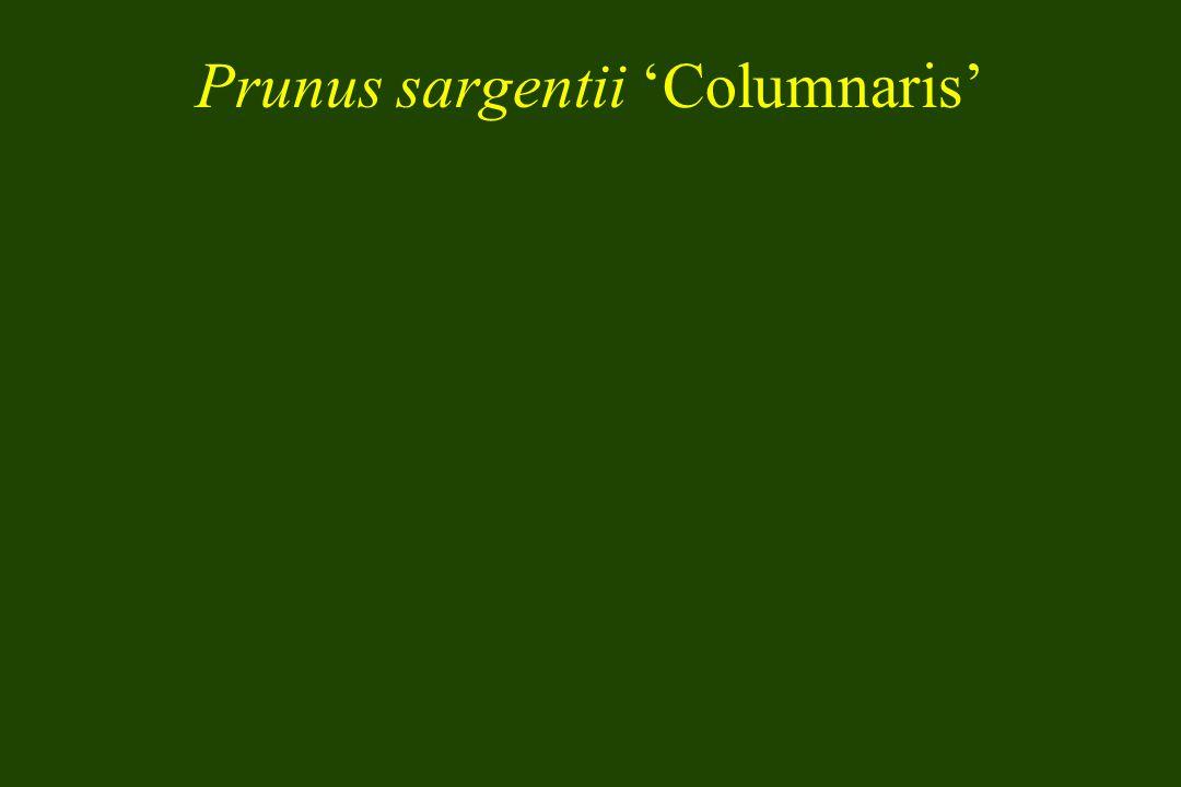 Prunus sargentii Columnaris