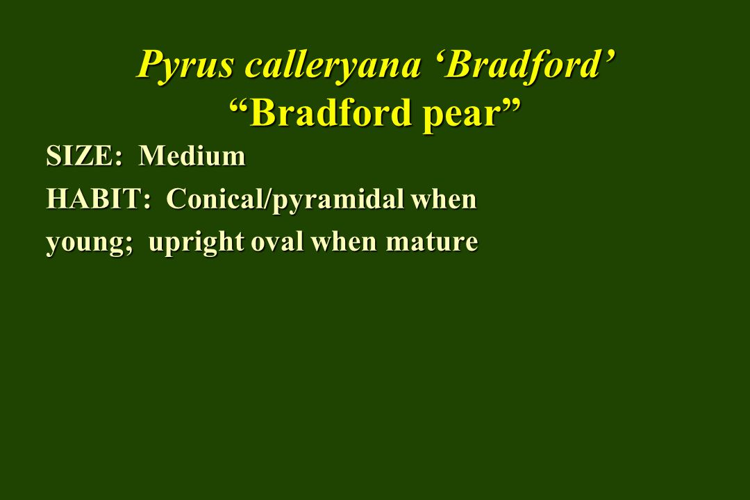 Pyrus calleryana Bradford Bradford pear SIZE: Medium HABIT: Conical/pyramidal when young; upright oval when mature