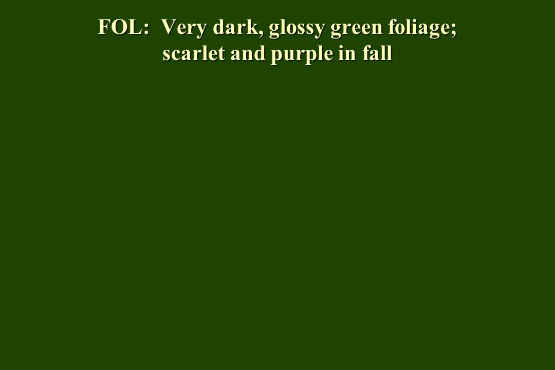 FOL: Very dark, glossy green foliage; scarlet and purple in fall