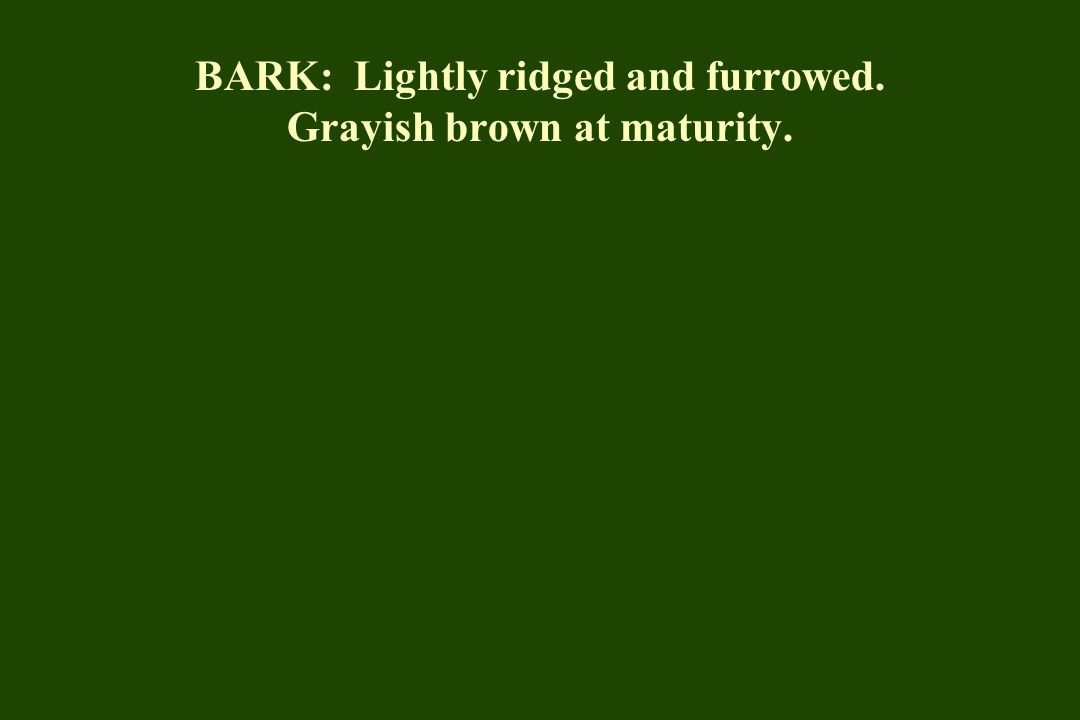 BARK: Lightly ridged and furrowed. Grayish brown at maturity.