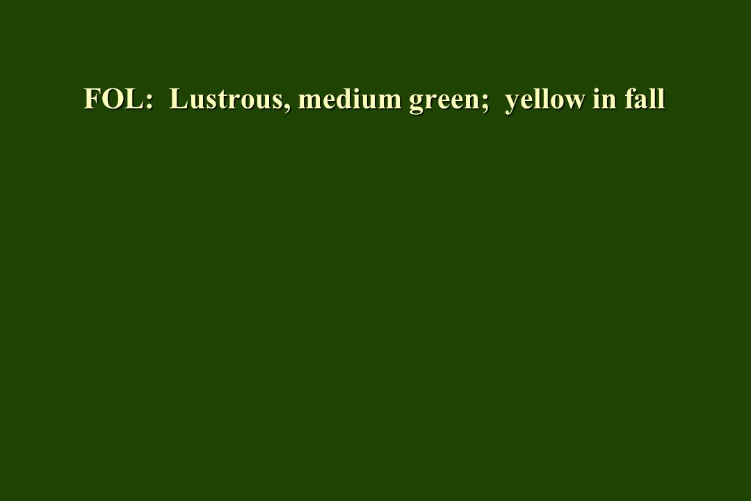FOL: Lustrous, medium green; yellow in fall