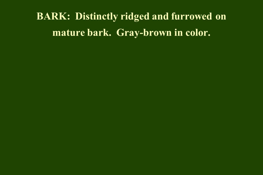 BARK: Distinctly ridged and furrowed on mature bark. Gray-brown in color.
