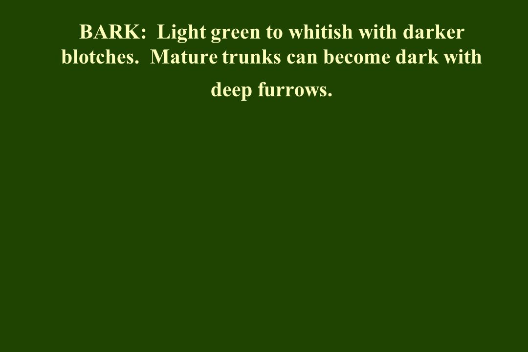 BARK: Light green to whitish with darker blotches. Mature trunks can become dark with deep furrows.