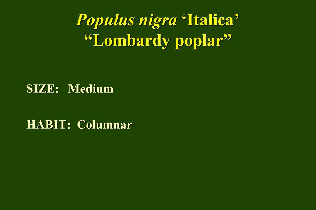 Populus nigra Italica Lombardy poplar SIZE: Medium HABIT: Columnar