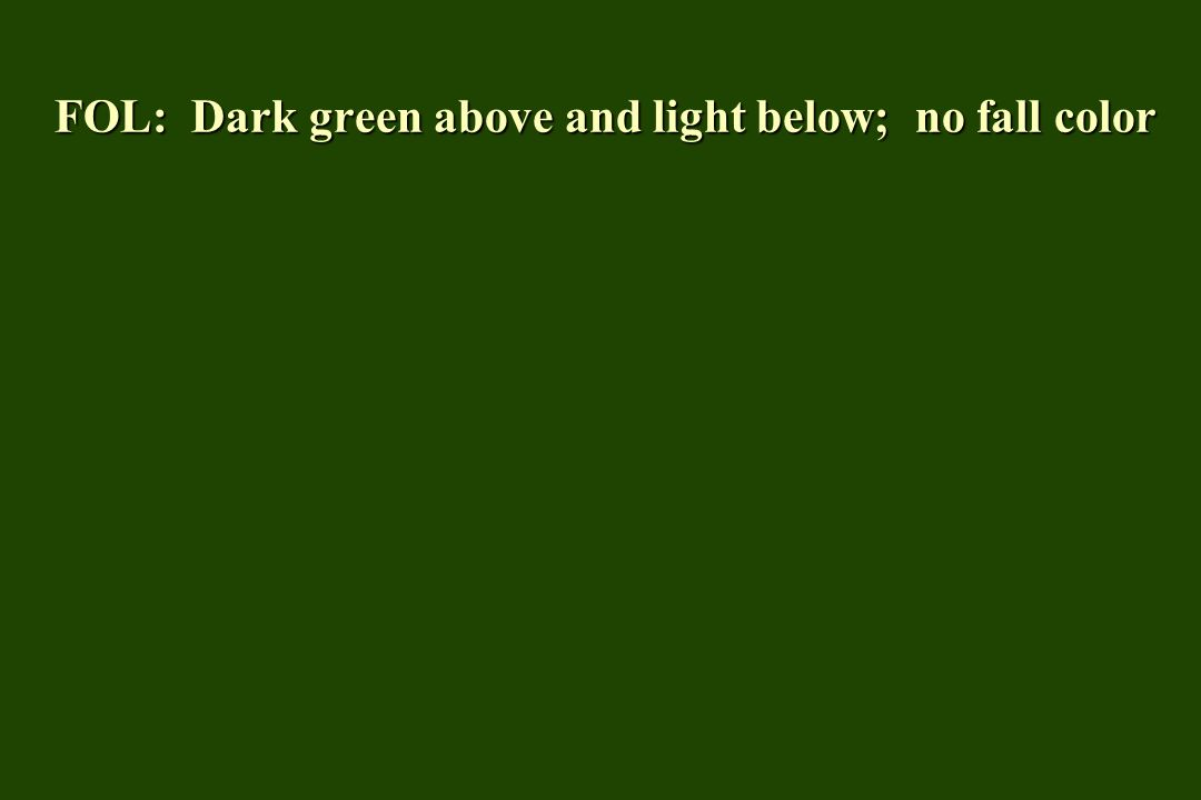 FOL: Dark green above and light below; no fall color