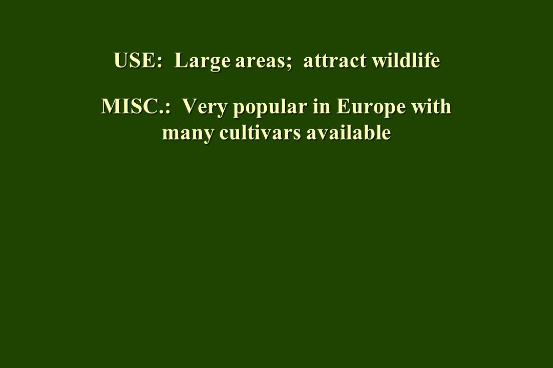 USE: Large areas; attract wildlife MISC.: Very popular in Europe with many cultivars available