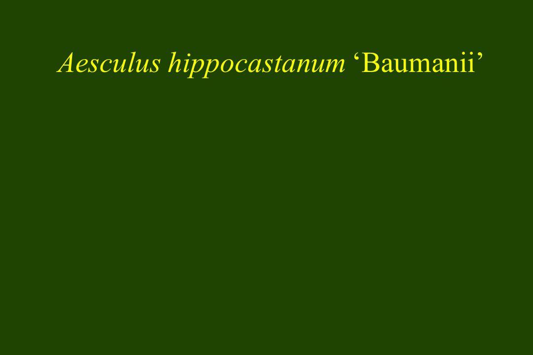 Aesculus hippocastanum Baumanii