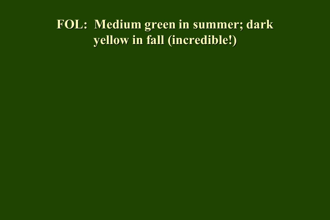 FOL: Medium green in summer; dark yellow in fall (incredible!)