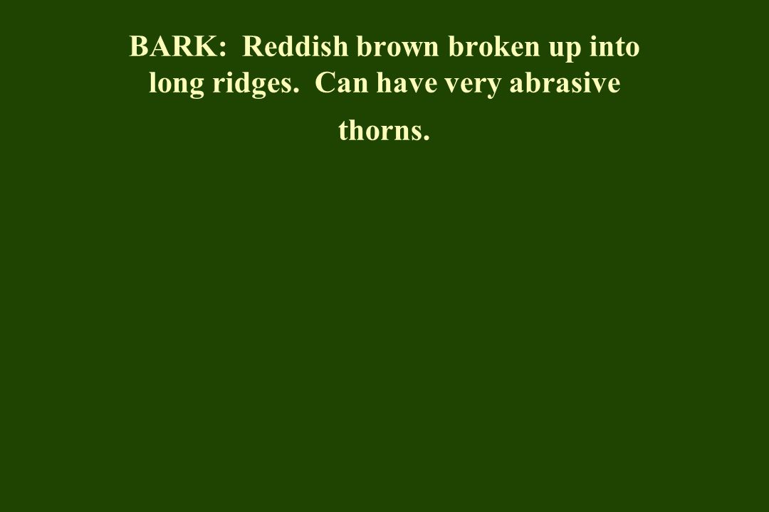BARK: Reddish brown broken up into long ridges. Can have very abrasive thorns.