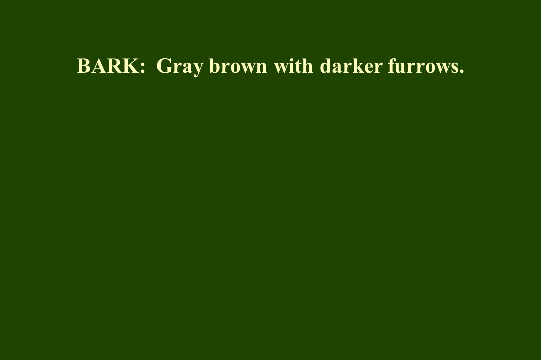BARK: Gray brown with darker furrows.